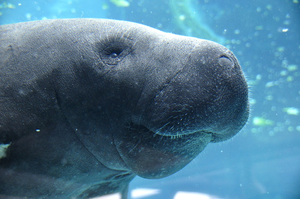 Underwater close-up photo of a manatee